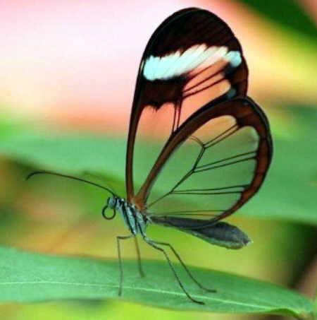 http://img44.xooimage.com/files/0/c/9/mariposas-transparentes-07-15b5e3a.jpg