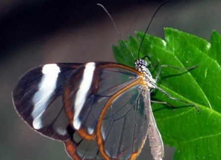 http://img44.xooimage.com/files/0/e/9/mariposas-transparentes-03-15b5e67.jpg