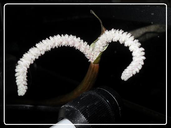 L'évolution d'une fleure  Aponogeton boivinianus Sdc12642-1ede883