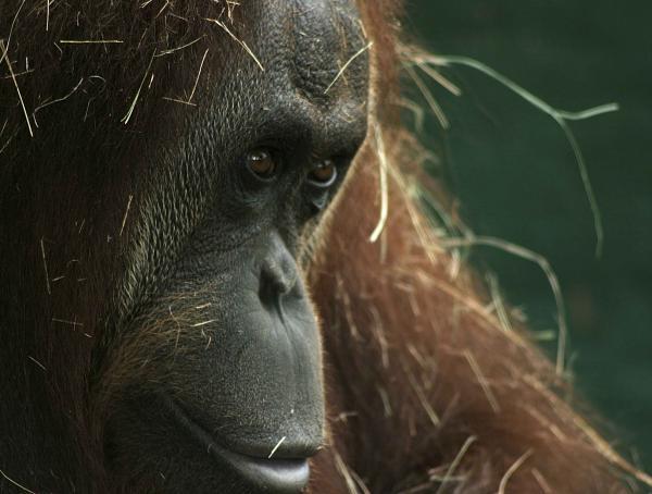 Maltraitance des orangs outans en malaisie Istock_0000069913..._preview-1c1e810