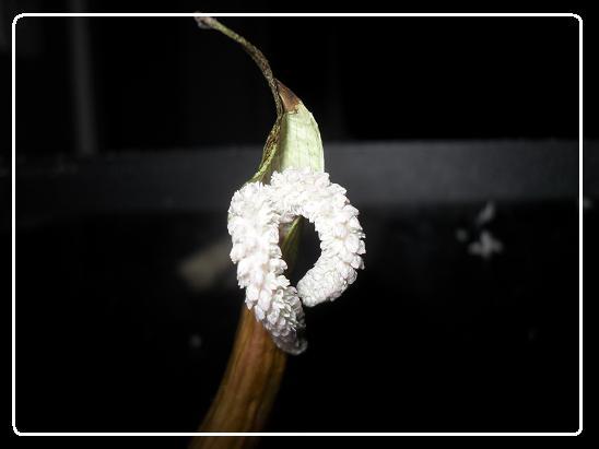 L'évolution d'une fleure  Aponogeton boivinianus Sdc12638-1ede86b