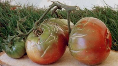 Fiches tomates forum blog de jouy sous thelle - Noir de crimee ...