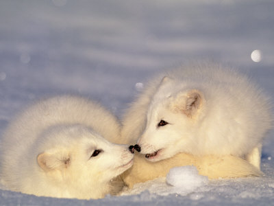 http://img44.xooimage.com/files/d/2/5/renardeaux-polaires-17002a1.jpg